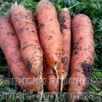 Крупные корнеплоды моркови