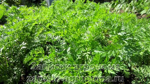 Пышная листва моркови