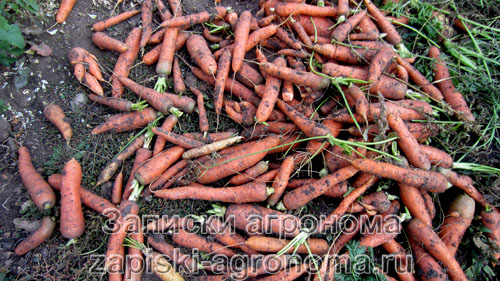Сбор урожая моркови