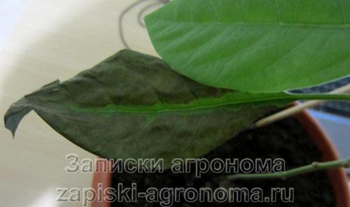 Темнеют листья авокадо
