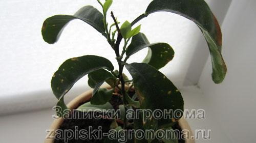 Мандариновое дерево в зимнее время