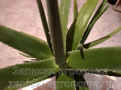 Секреты комнатных растений алоэ