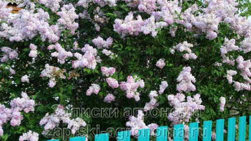 Разросшийся куст сирени розовой