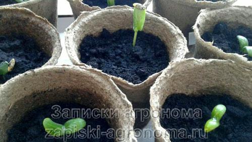 Подсыпка почвы в горшки с рассадой