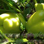Сочные плоды сладкого перца