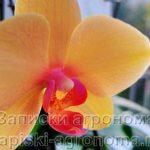 Фаленопсис жёлтый