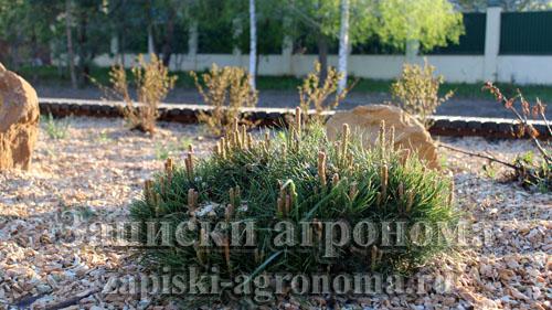 Хвойные штамбовые растения