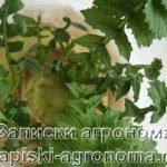 Зелень дайкона