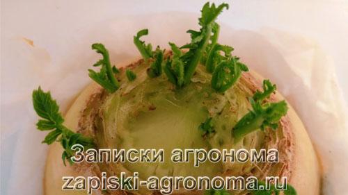Как вырастить зелень дайкона из плода, на подоконнике