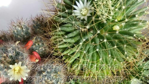 Цветущий кактус белым цветком