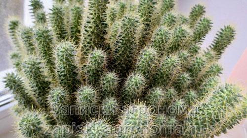 кактус маммиллярия зейльмана