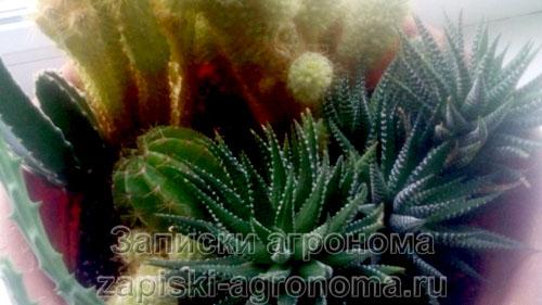 Разновидности кактусов в квартире