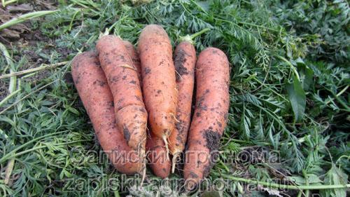Как бороться с морковной мухой на огороде для обеспечения себя богатым урожаем