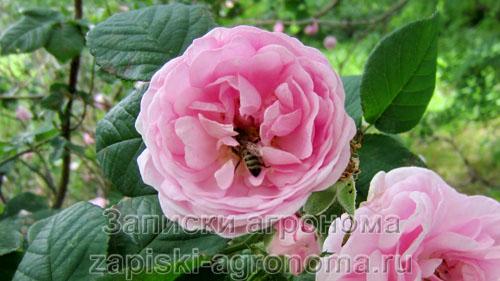 Розовые цветы роз
