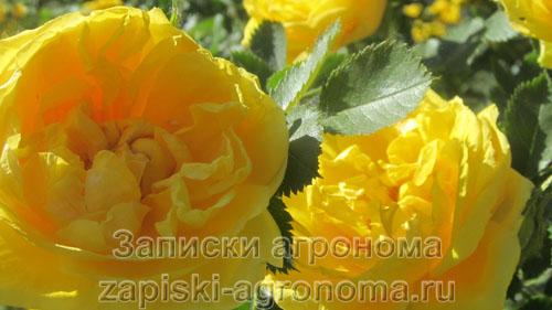 Распустившиеся бутоны роз
