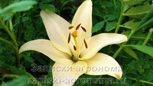 Красивые лилии в саду белого цвета