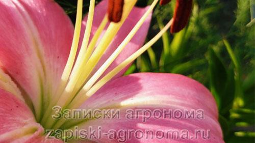 Бело-розовый цветок