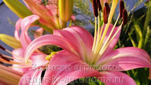 Цветы лилии розового цвета