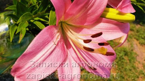 Красивые лилии в саду