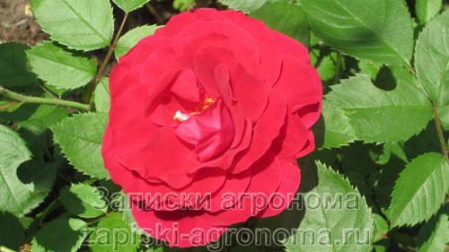 Цветок плетистой розы