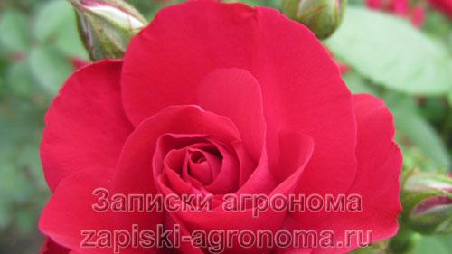 Распустившийся бутон розы