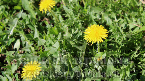 Одуванчик любимый цветок для пчёл