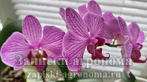 Фаленопсис фиолетовый цветёт даже в зимнее время