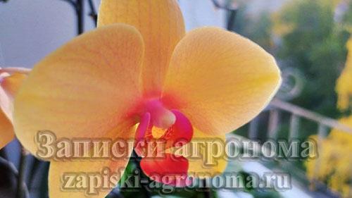Орхидея жёлтая жемчужина