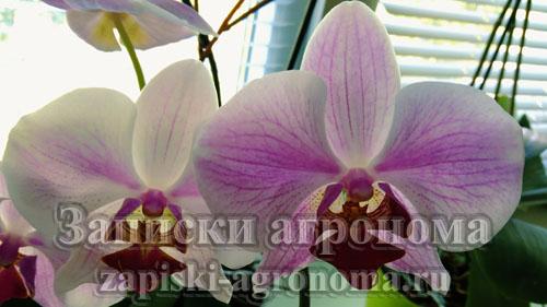 фаленопсис элегант роуз