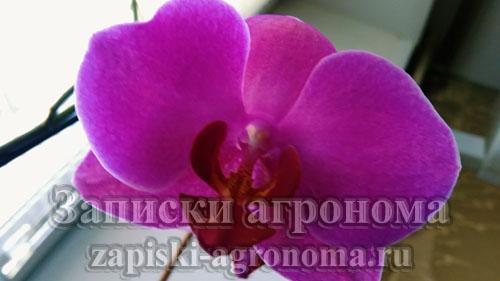 орхидея фаленопсис пурпурная