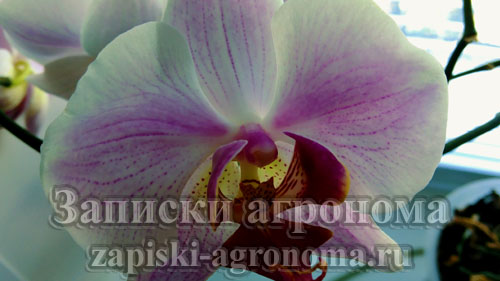 орхидея phalaenopsis полосатик