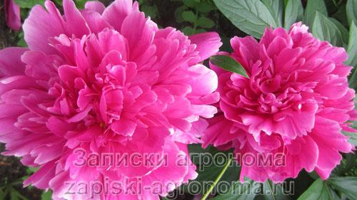 Два красивых цветка пиона
