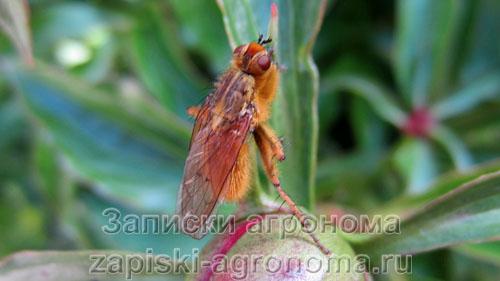 Морковная муха на пионе