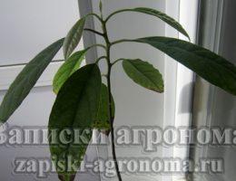 Как пересадить авокадо в другой горшок и дальнейший уход