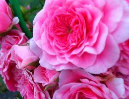 Роза почвопокрывная