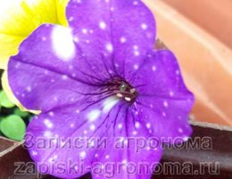 Цветок петунии