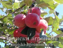 Как ухаживать за саженцем яблони