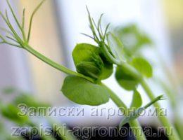 Как вырастить микрозелень гороха в домашних условиях