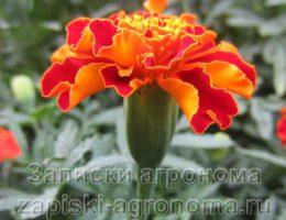 распустившиеся цветы бархатцев в саду