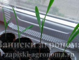 Как вырастить рассаду кукурузы