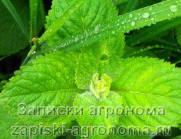 Какие травы посадить в чайной грядке