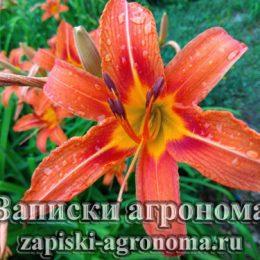 Лилейник оранжевый