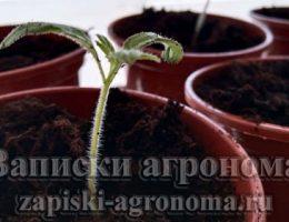 Сеянец томатов