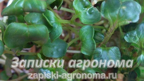 Семена микрозелени зелень на подоконнике