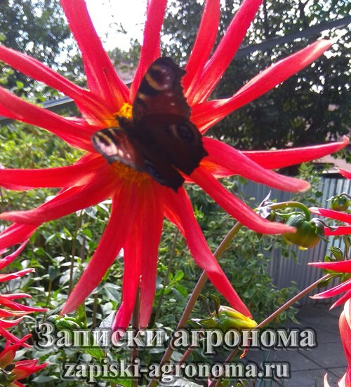 Бабочка на цветке георгина