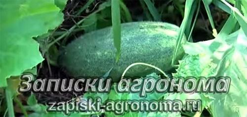 Как вырастить рассаду дыни