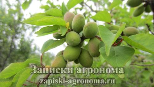 Молодые ягоды абрикоса