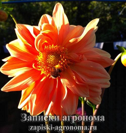 Оранжевые георгины