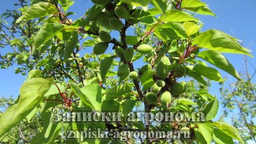 Осенний уход за абрикосом