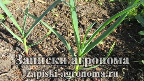Особенности выращивания чеснока